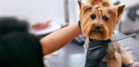 Fryzjer czeszący psa